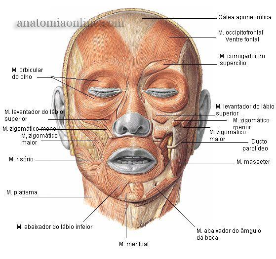 Anatomia Online - Músculos da Cabeça | Anatomía y Fisiología Humana ...