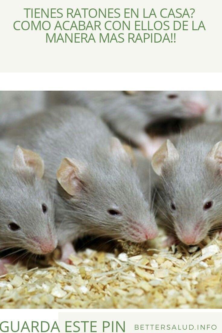 Como Acabar Con Las Ratas En El Jardin Pin En Beneficios