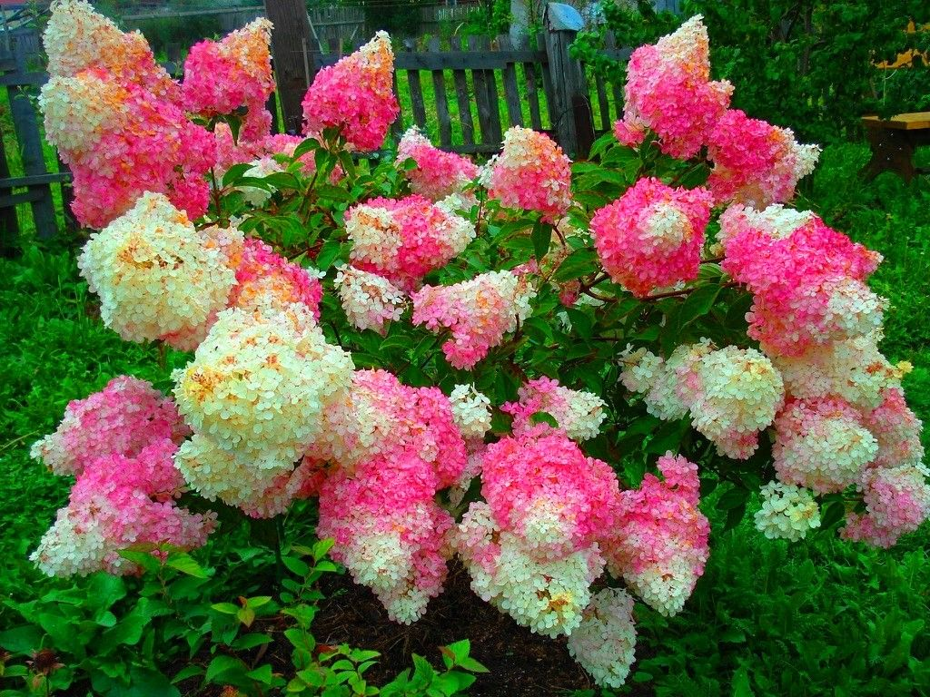 hortensja bukietowa hydrangea paniculata vanille fraise renhy diy home garden pinterest. Black Bedroom Furniture Sets. Home Design Ideas