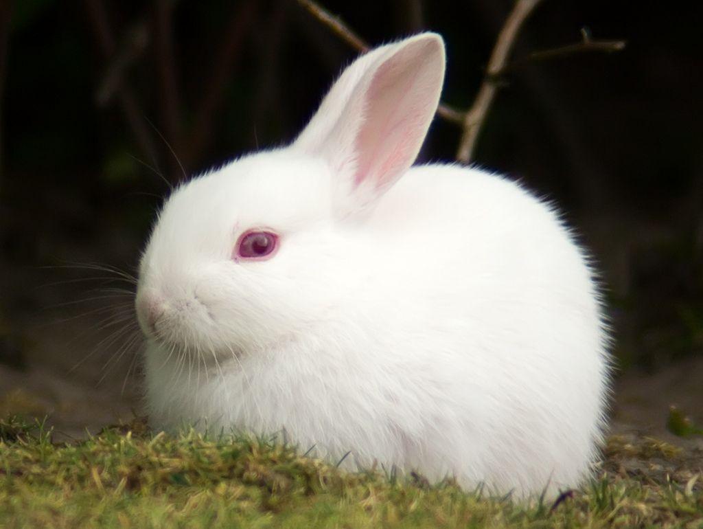 белый кролик с красными глазами фото японии