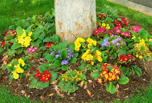 Photo of Primulas, Spring Blooming Plants for Your House and Yard