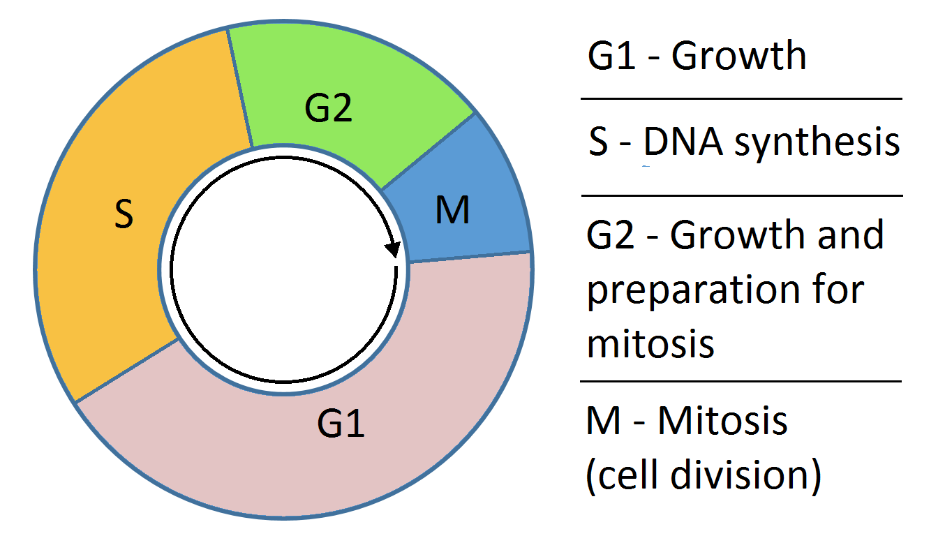 What Happens In The G1 And G2 Phases Of The Cell Cycle Https Www Albert Io Blog G1 G2 Phases Cell Cycle Cell Cycle Cell Division Cell Biology [ 768 x 1354 Pixel ]