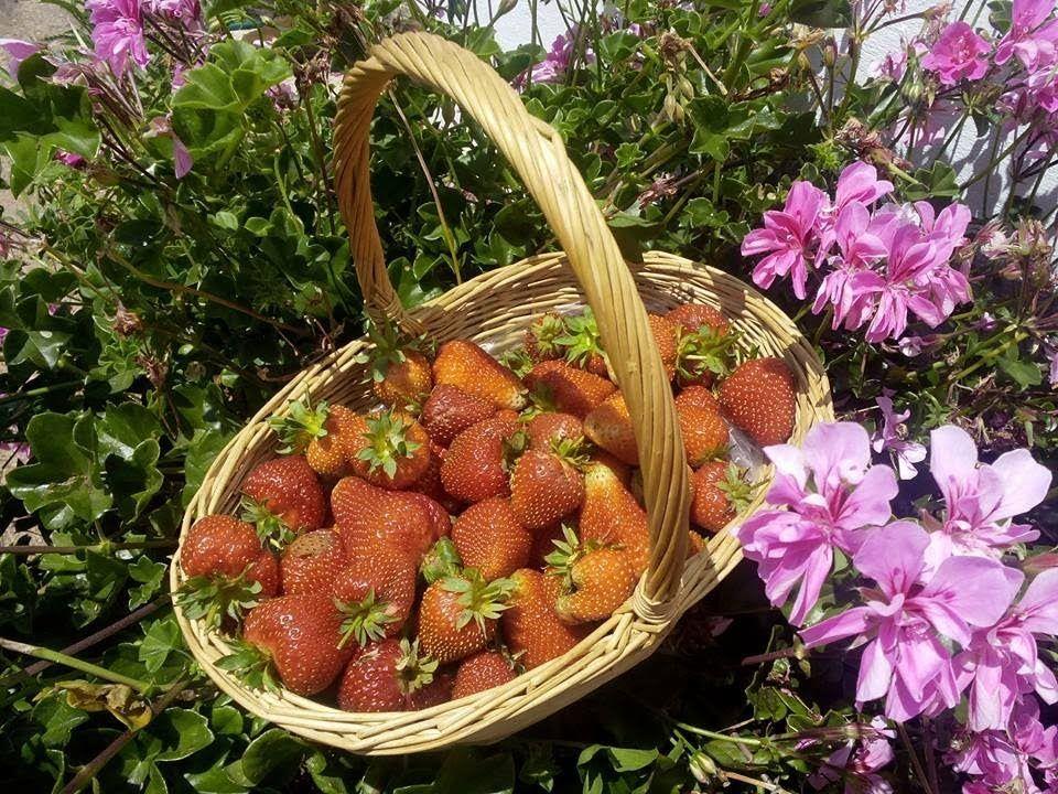 Cultivo de fresas en el huerto
