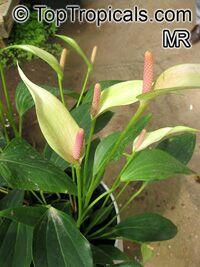 andraeanum anthurium, flor de flamenco, flor de la cola Haga clic para ver la imagen a tamaño completo