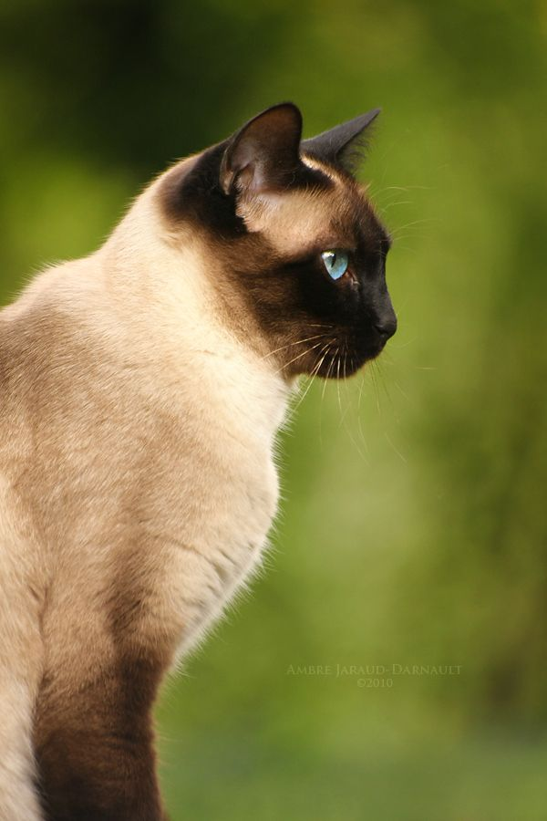 Cassiopee Xv By Darkcalypso On Deviantart Siamese Cats Cats Cat Breeder