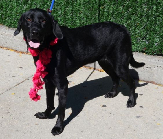 SAFE❤️❤️ 10/4/16 Manhattan Center AZURY – A1090954 SPAYED FEMALE, BLACK, LABRADOR RETR MIX, 2 yrs OWNER SUR – EVALUATE, HOLD FOR ID Reason MOVE2PRIVA Intake condition UNSPECIFIE Intake Date 09/23/2016, From NY 11368, DueOut Date 09/23/2016