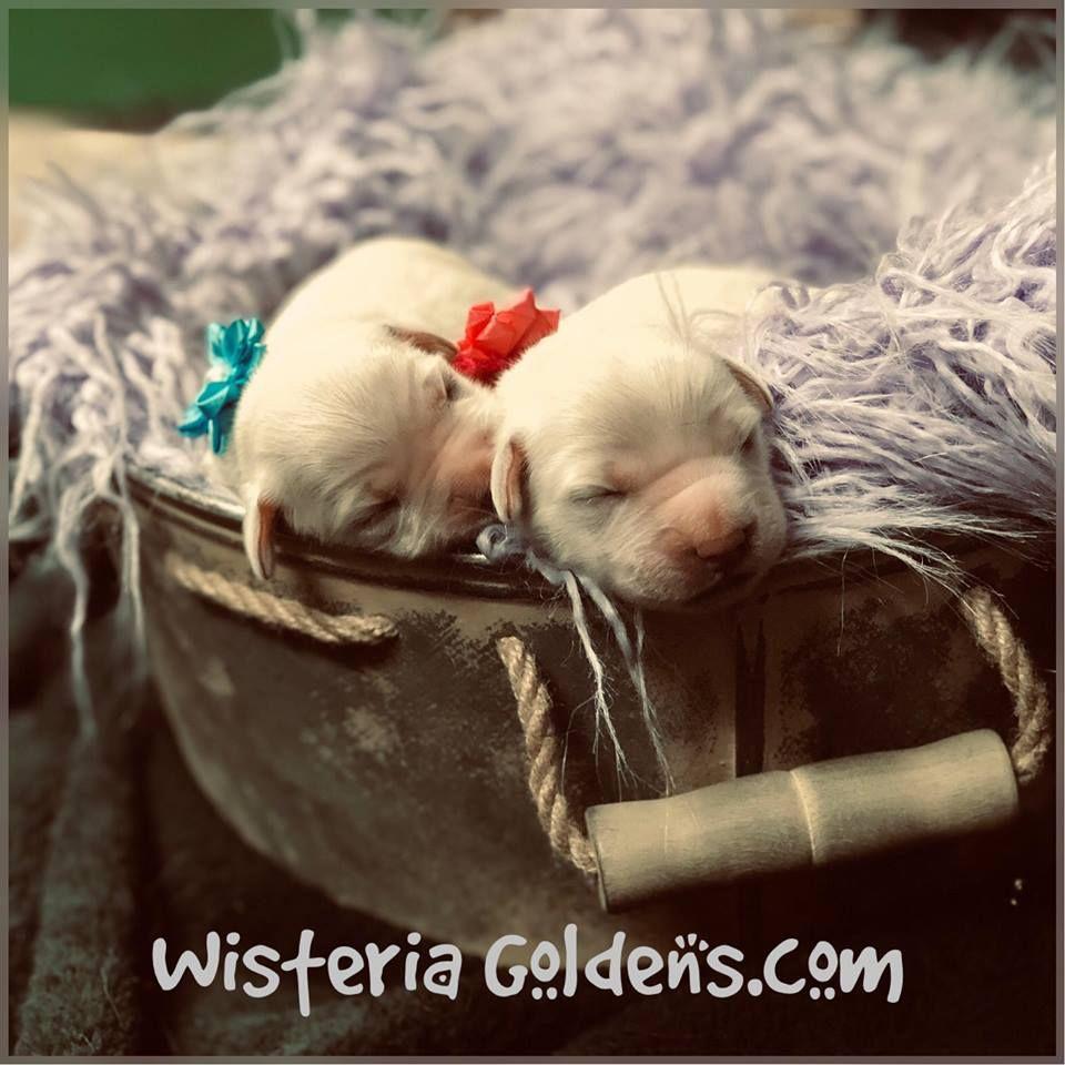 English Cream Golden Retriever Puppies For Sale Dogs Golden