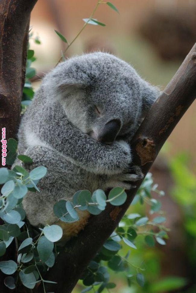 cute lil koala | Cute Critters | Pinterest | Cute animals, Animals and Animals beautiful