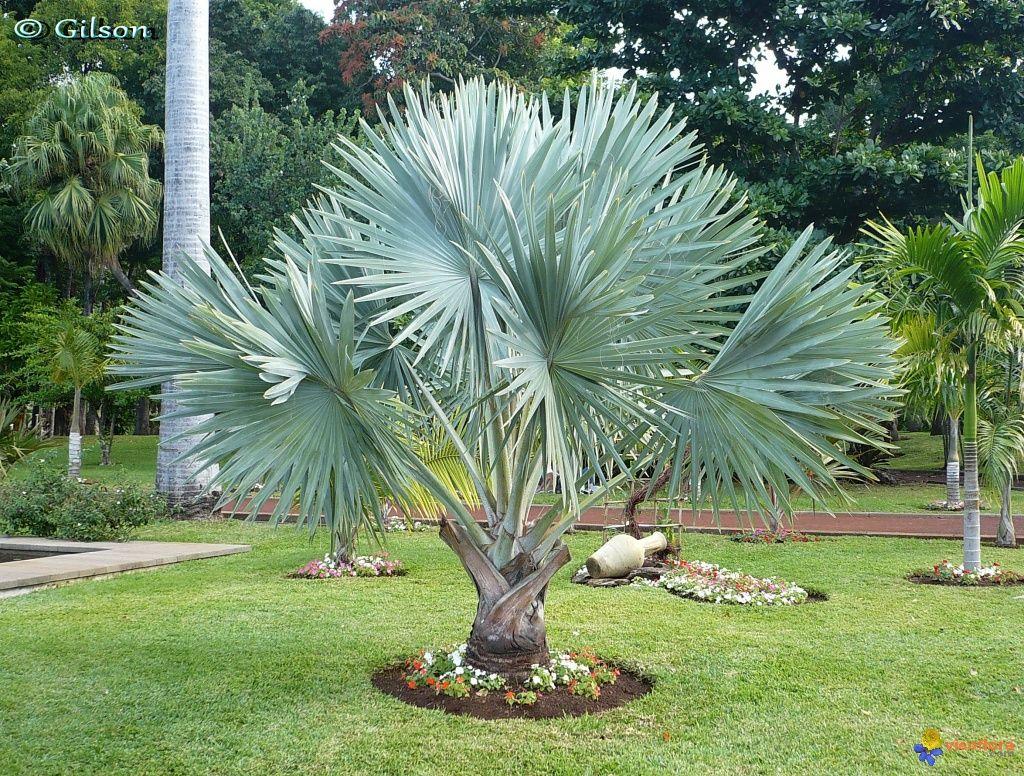 palmier de bismarck arbres et jardins jardin tropical. Black Bedroom Furniture Sets. Home Design Ideas