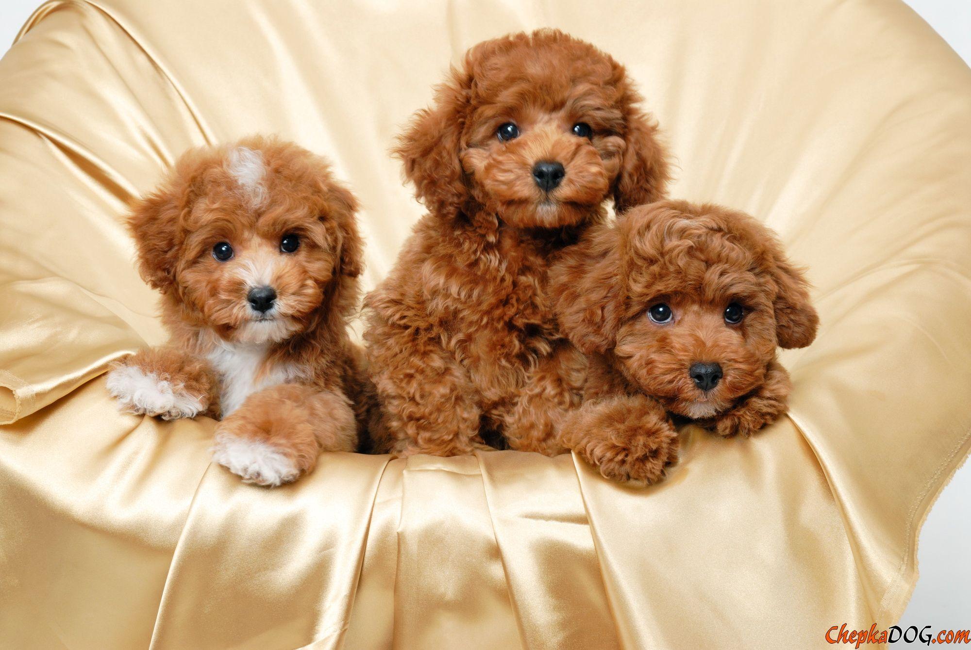 Foto Sobak Cute Puppy Wallpaper Toy Poodle Puppies Cockapoo