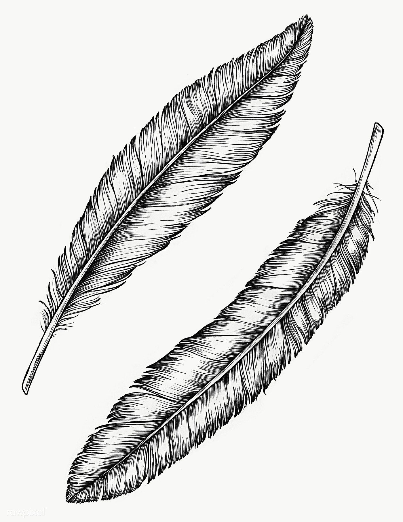 Two Hand Drawn Bird Feathers Transparent Png Free Image By Rawpixel Com How To Draw Hands Feather Drawing Feather