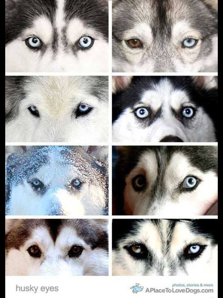 The Gorgeous Variations Of Husky Eyes Husky Eyes Cute Husky