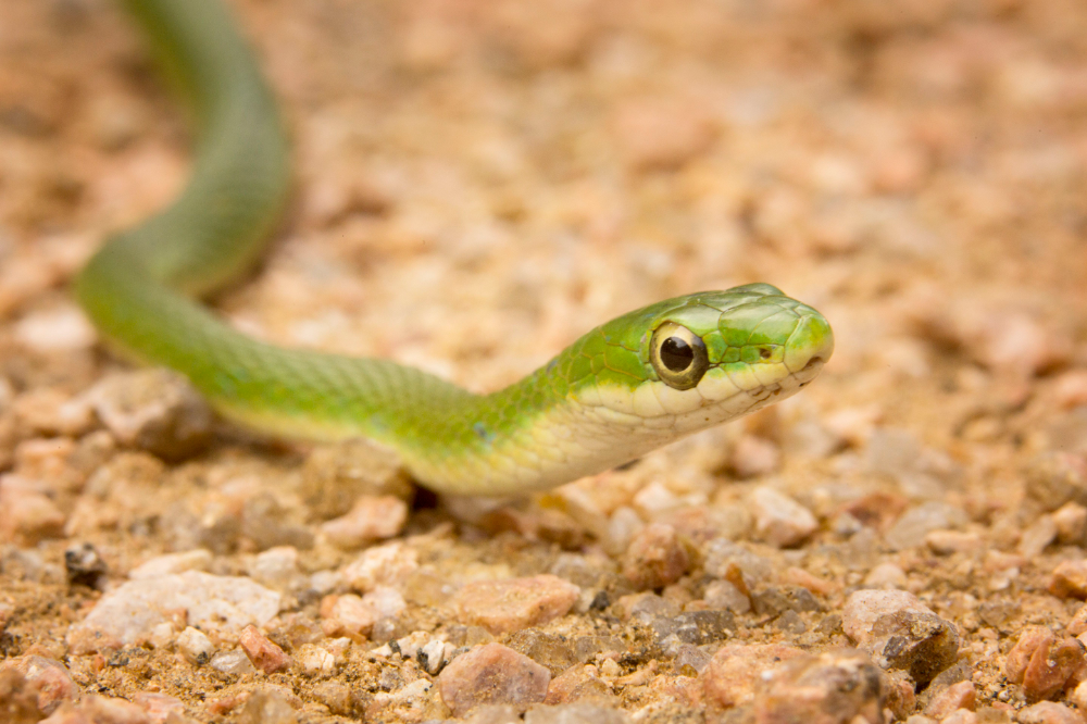 How Do You Care For A Pet Green Snake Pet Snake Green Snake Pet Names Unique