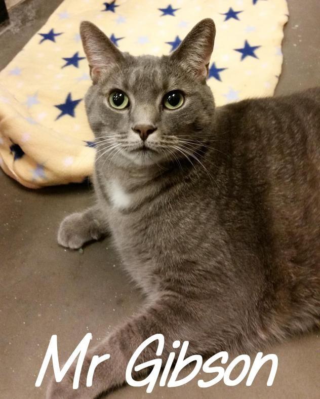 Adopt Mr Gibson On Cat Adoption Animal Sanctuary Russian Blue