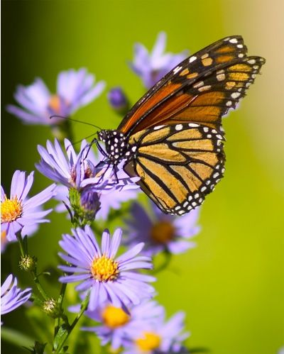 Fueling station — A monarch butterfly relies on the fall-blooming aster and other native plants for nectar as it migrates south for winter. Description from hoosiergardener.com. I searched for this on bing.com/images