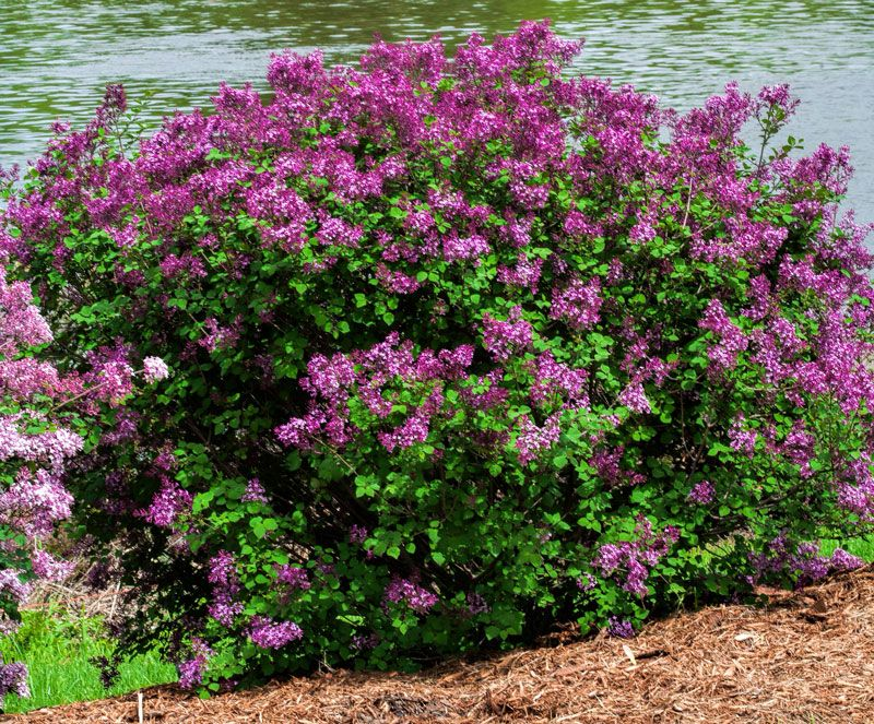 Bloomerange Dark Purple Lilac Bloomerang Dark Purple Lilac Syringa X Bloomerang Dark Purple Here S Bloomerang Lilac Purple Flowering Bush Flowering Bushes
