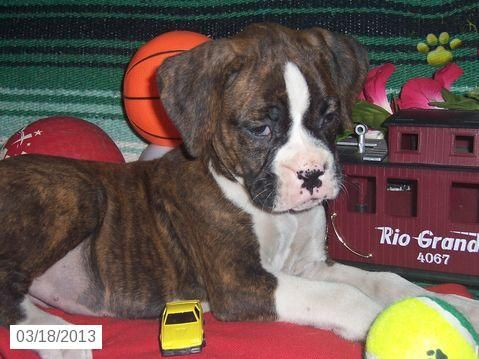 Ivory Boxer Puppy for Sale in Denver, PA Boxer Puppy