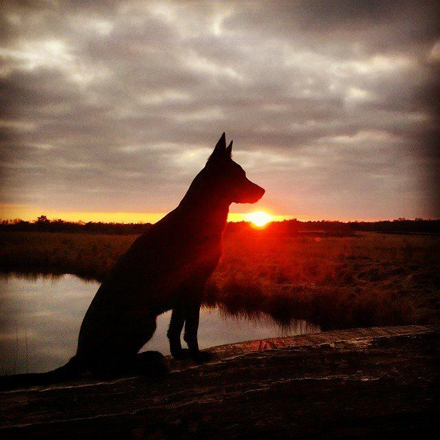 Kelpies And Sunsets Go Well Together Australian Kelpie Dog