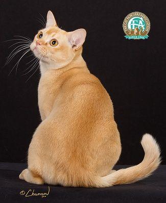 Red European Burmese Female Burmese Cat Cats And Kittens Orange Cats