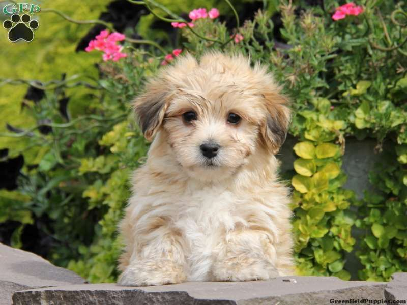 Trevor Morkie Poo Puppy For Sale In Ephrata Pa Breeder Stephen