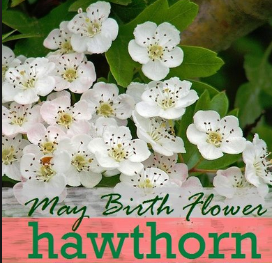 May Birth Month Flower The Hawthorn May Birth Flowers Birth Flowers Birth Month Flowers