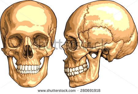 Image Result For Picture Of The Human Skull Sulpey Pics
