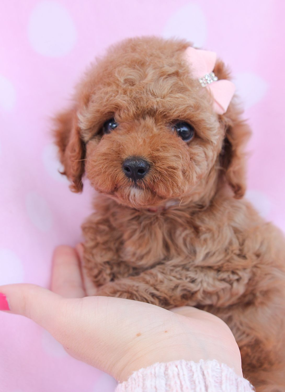 Toy Poodle Puppy For Sale in South Florida Poodle
