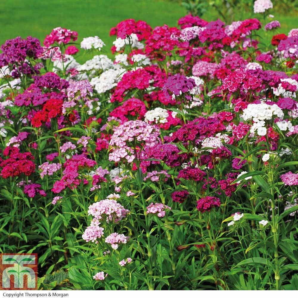 Piante Da Bordura Giardino perenne sempreverde 30 cm maggio agosto pianta erbacea