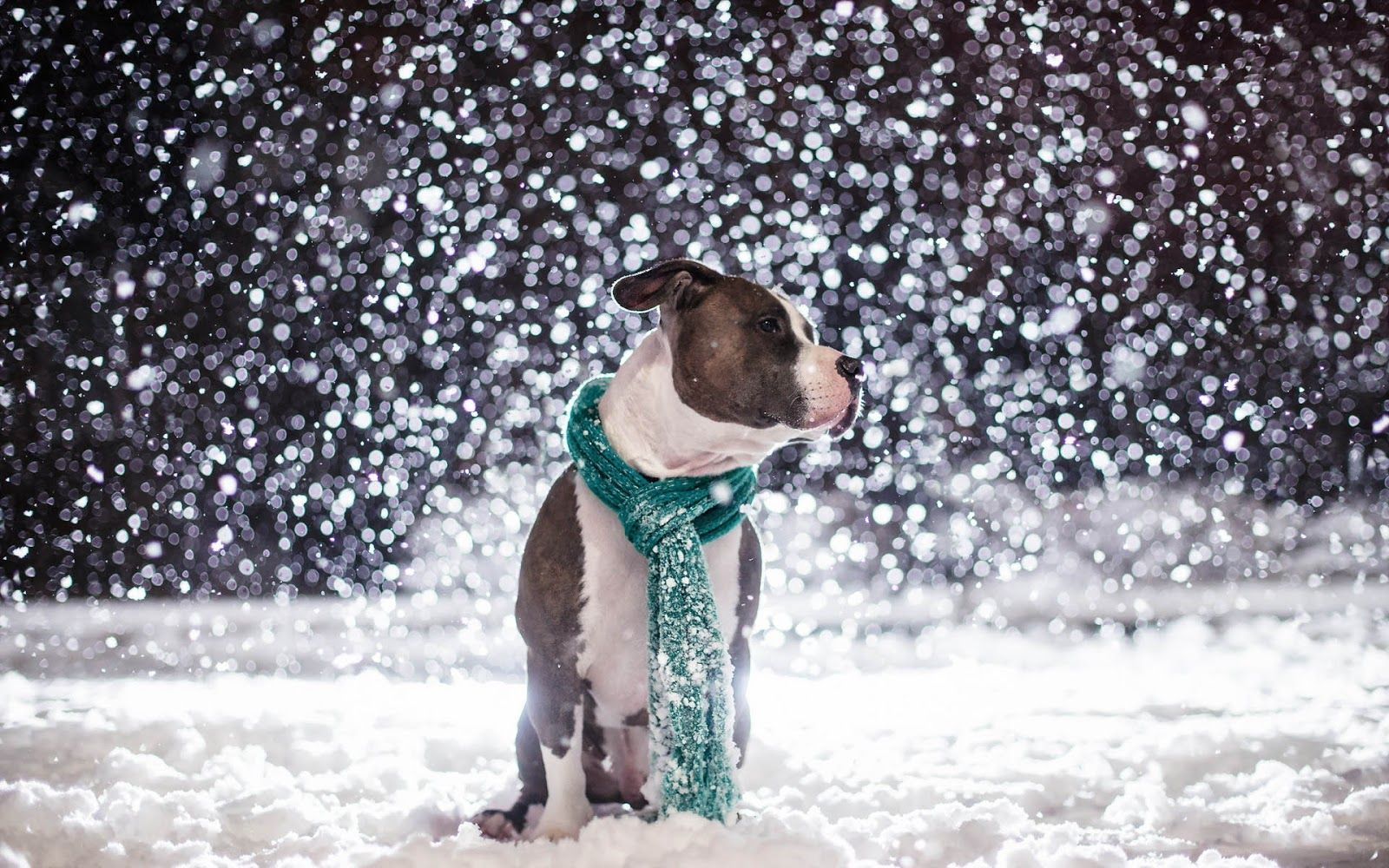 Animal Picture Pitbull Dog Sitting In Snow Hd Wallpaper Pitbull Dog Pitbulls Animal Pictures