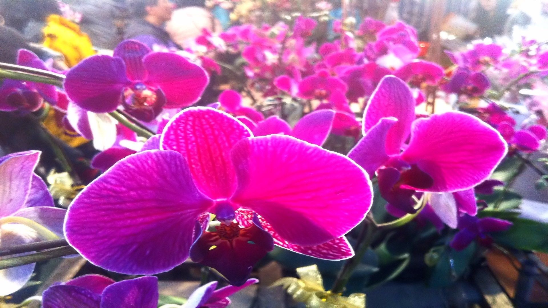 Kallen smith orchid pictures to download x px