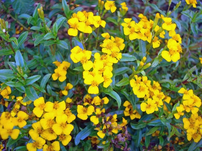 Tagetes lucida, Mexican Mint Marigold, Yerbis Anis