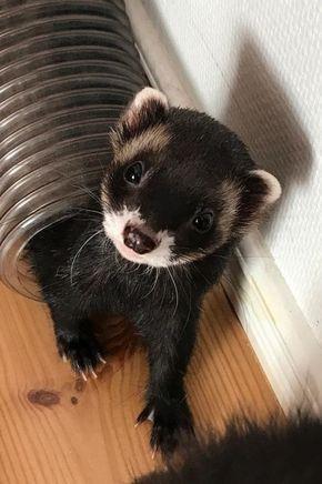 Cute Ferret I Want It Frettchen Haustier Frettchen Susse Tiere