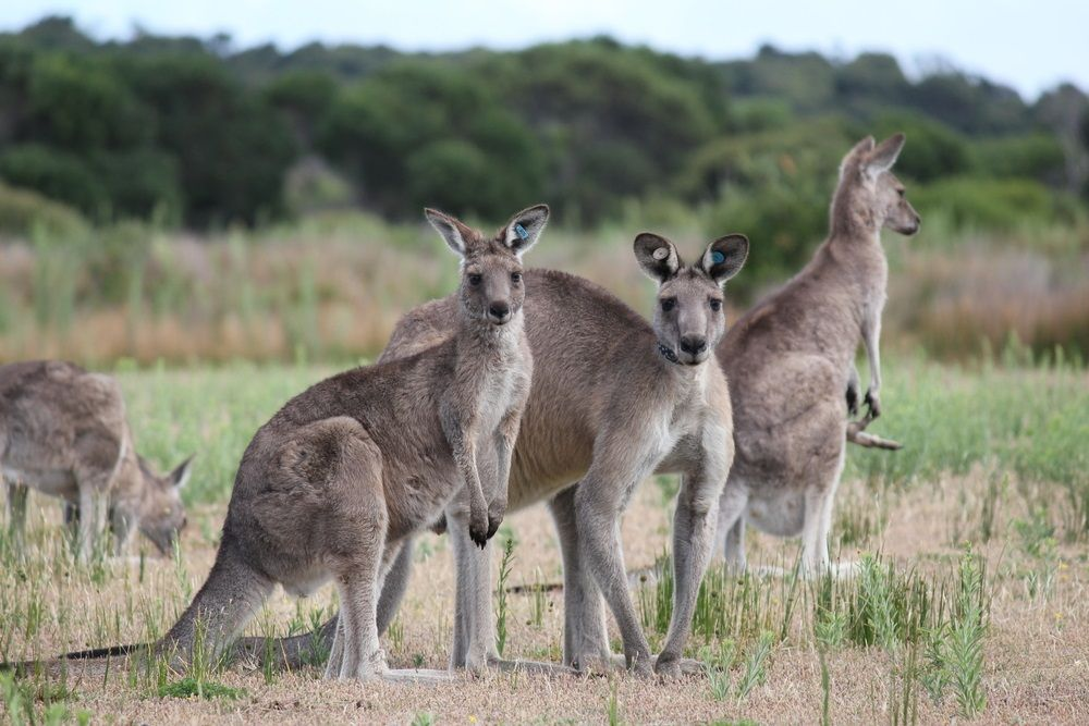 These eastern gray kangaroos are just one of over 40