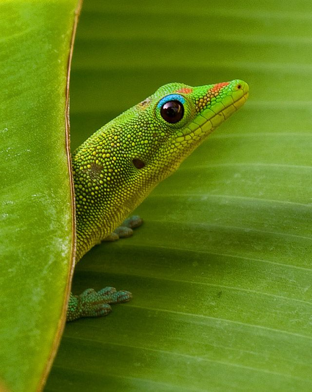 Gecko on Banana Leaf by Charlie Van Tassel