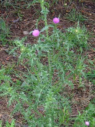 Piikkikarhiainen, Carduus acanthoides - Kukkakasvit - LuontoPortti