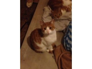 Ginger Cats Edinburgh 2 Males 1 Year Old Been Neutered Only Selling As They Don T Get On With My Other Cats Very Loving And Affectio Ginger Cats Cats Pets