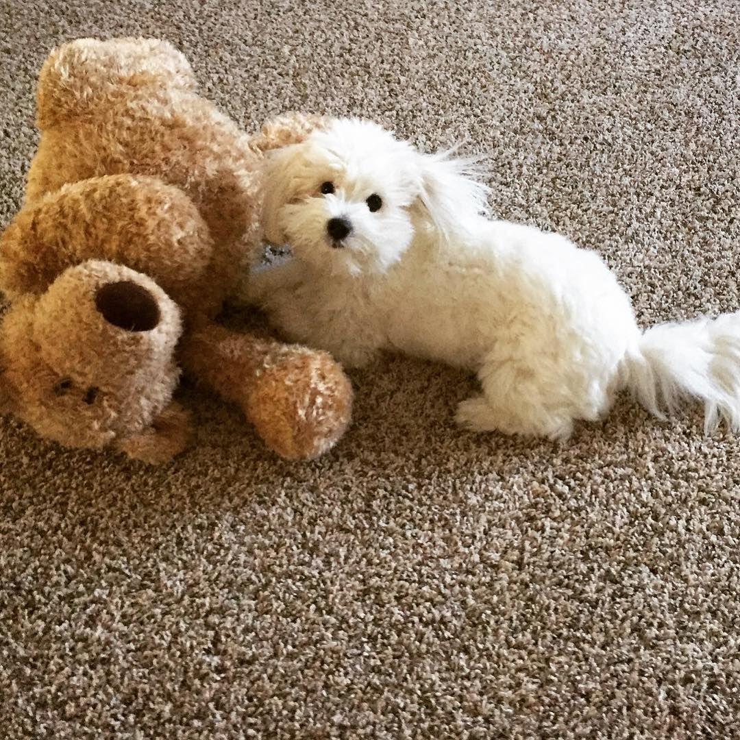 Which One Is The Stuffed Animal Coton De Tulear Coton De Tulear
