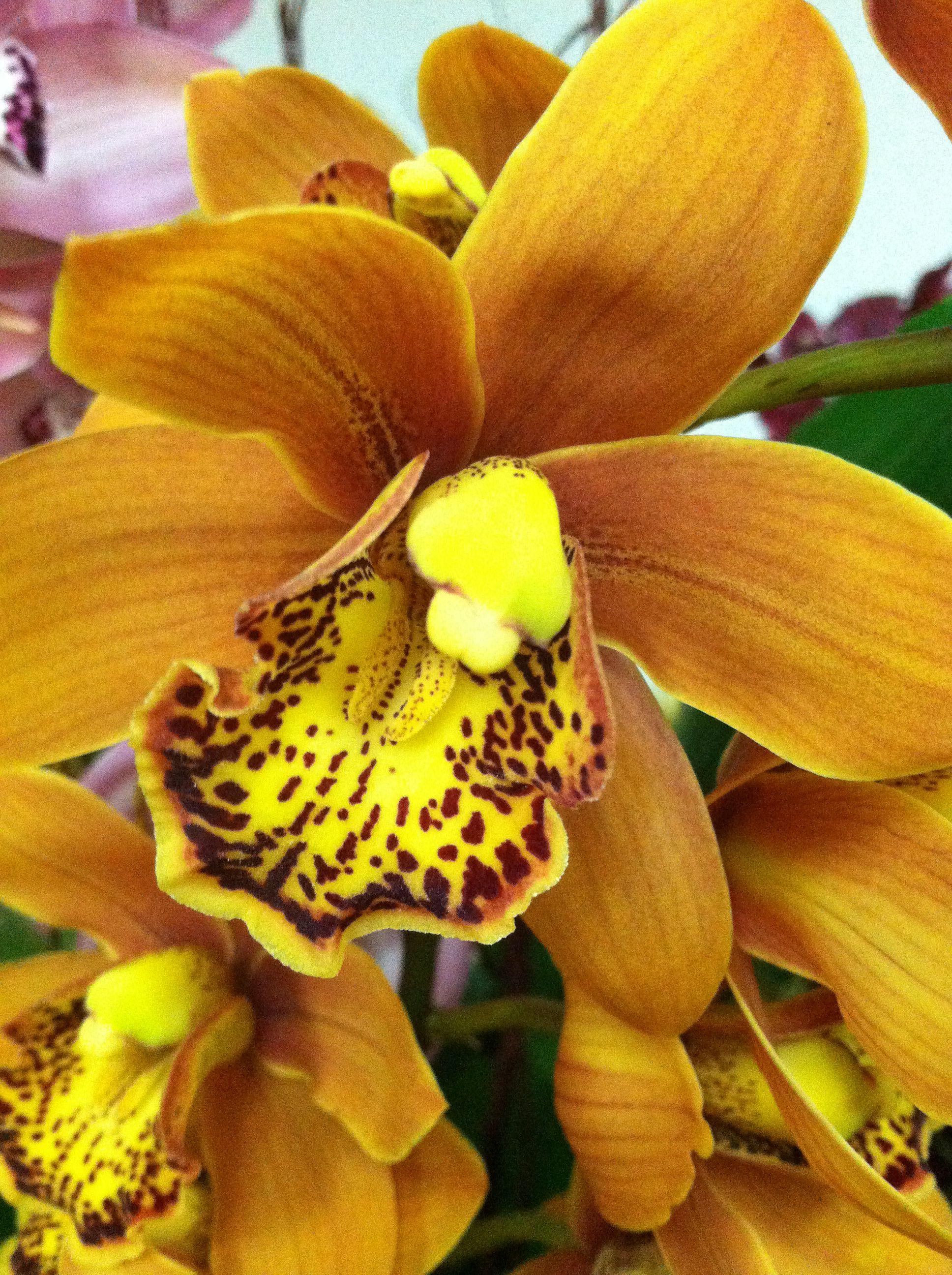 A Bounty Of Beautiful Cymbidium Orchids Cymbidium Orchids Orchid Nursery Orchids