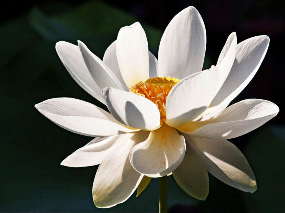 The Secret Meaning of the Lotus Flower White lotus