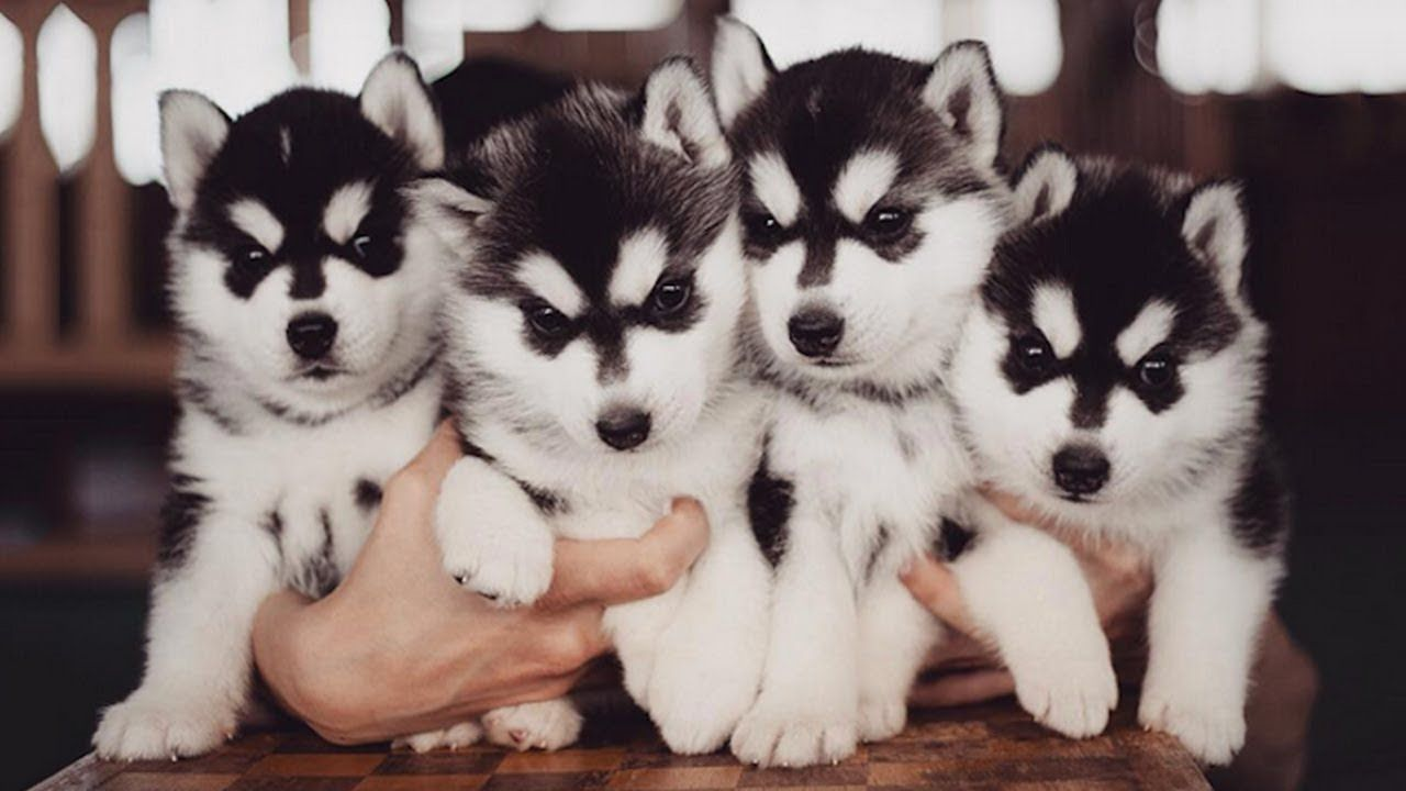 Incredible Huskies Playing Barking And Howling Puppy Video