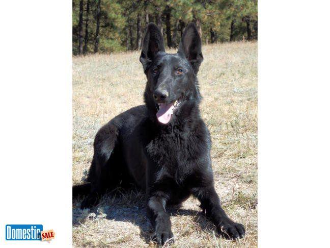 German Shepherd Dog Solid Black Female Akc Registered We Are