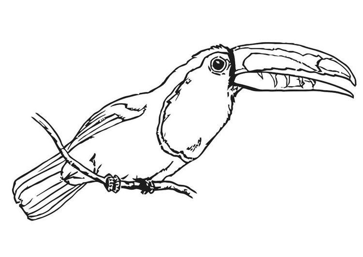 malvorlage vogel - tukan | ausmalbild 20699. | vögel
