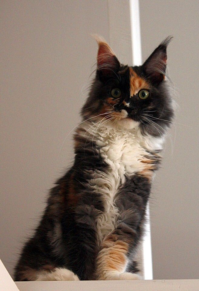 Cats On Pinterest 2177 Pins Calico Kitten Cat Cuddle Crazy Cats