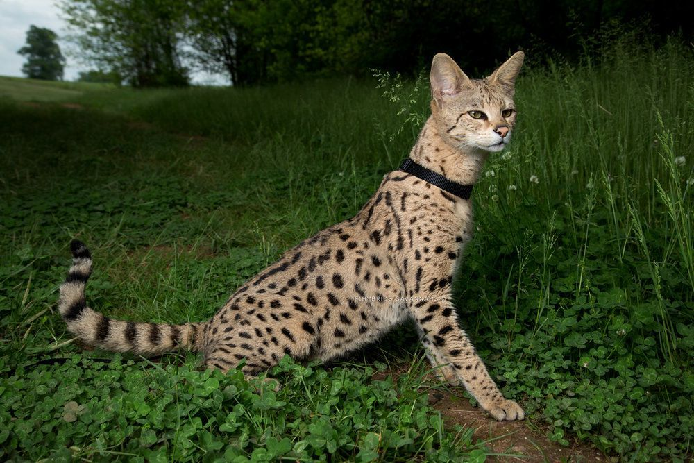 Savannah Cat Size,Diet,Temperament,Price. Savannah cat