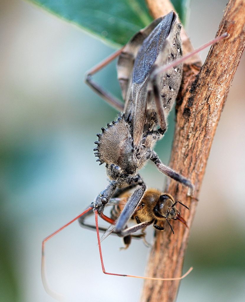 Wheel Bug | Critters | Insects, Bugs, Cool insects