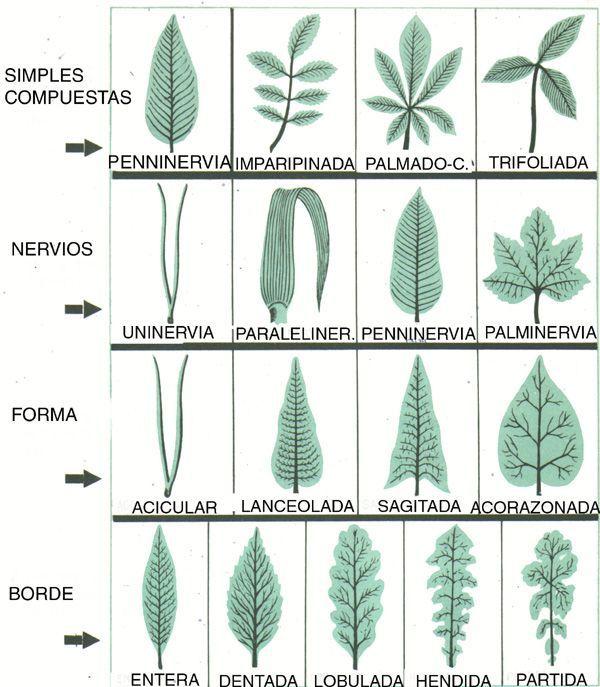 Tipos de arboles y sus nombres buscar con google for Cuales son los tipos de plantas