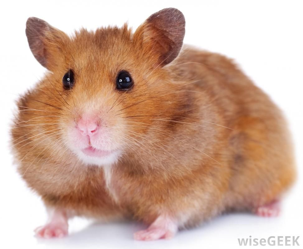 What Are The Differences Between A Hamster And A Gerbil Hamster Breeds Hamster Cute Hamsters