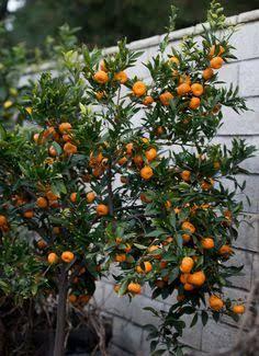 Image Result For Satsuma Mandarin Espalier Indoor Fruit