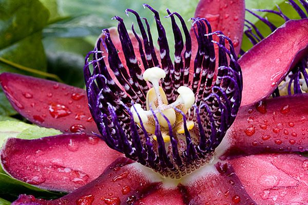 Ruby Glow Passion Flower Passion Flower Beautiful Flowers Pictures Beautiful Flowers