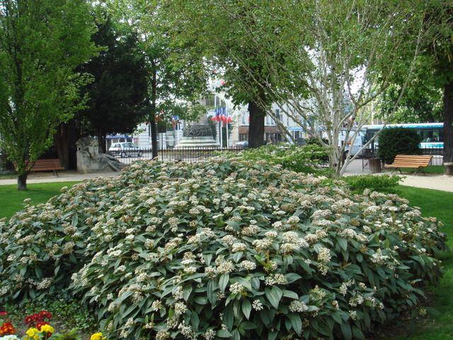 Viburnum davidii evergreen shrub as noted on design | Dvě zahrady v ...